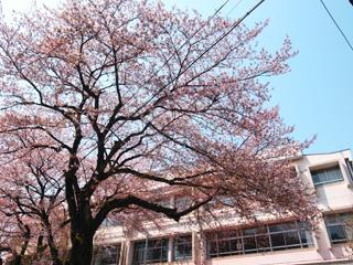201504_sakura